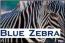 Blue Zebra Logo
